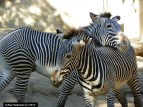 Grevy's zebras at play