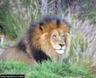 Endangered Lion