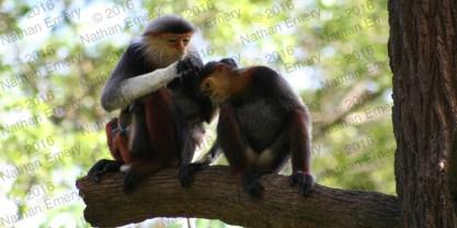 Diana Monkeys 2