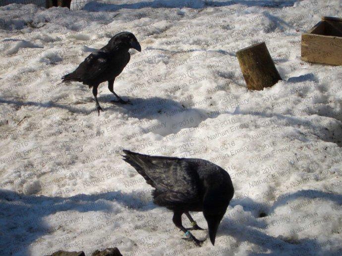 Raven Caching Panel C