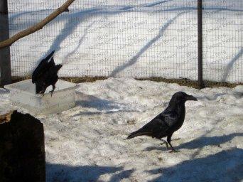 Raven Caching Panel E