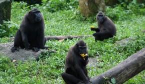 Sulawesi Macaques