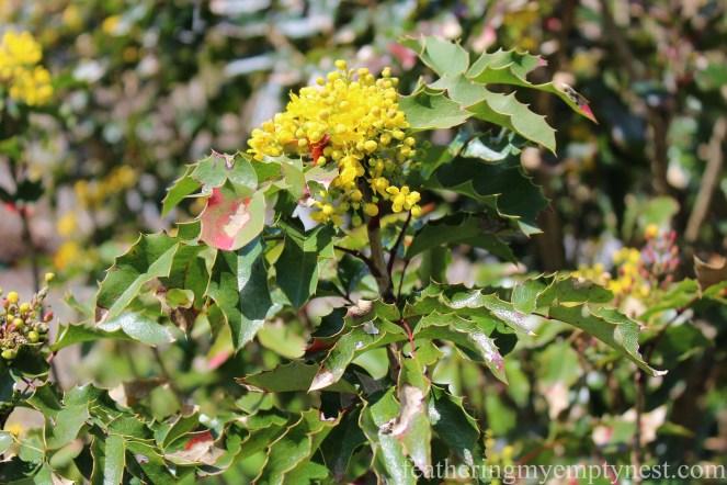 Mahonia or Grape Holly growing in the Shrub Garden --A Spring Tour Of The Biltmore Estate Gardens