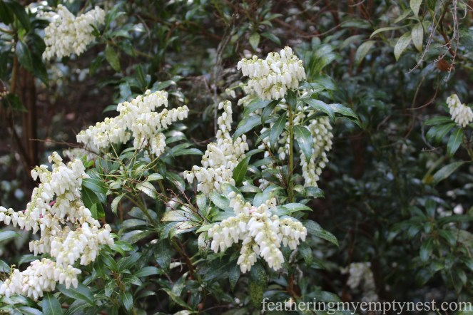 Pieris Japonica --A Spring Tour Of The Biltmore Estate Gardens