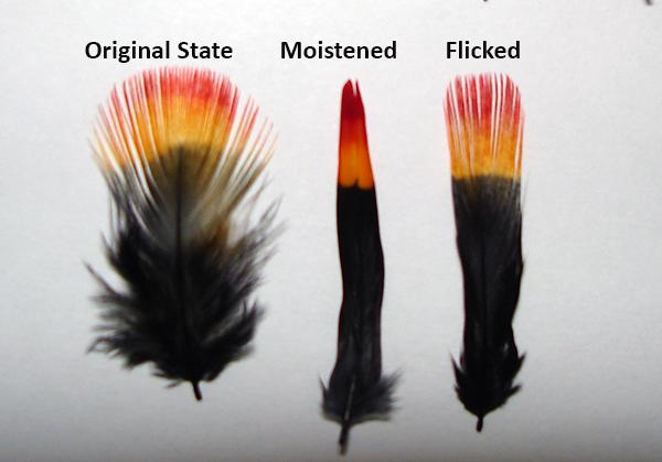 Saliva process Crow