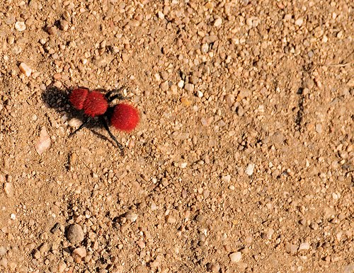 Red Black Thorax Ant