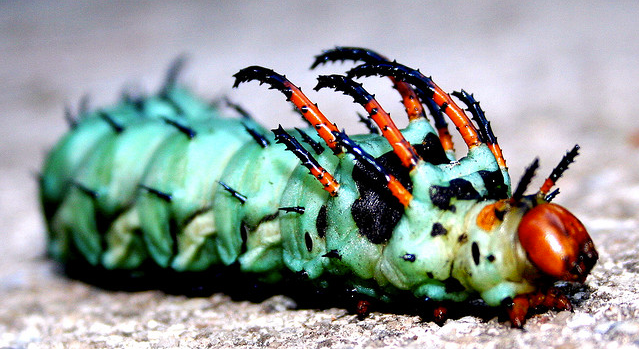 Spiky Hickory Horned Devil Caterpillar