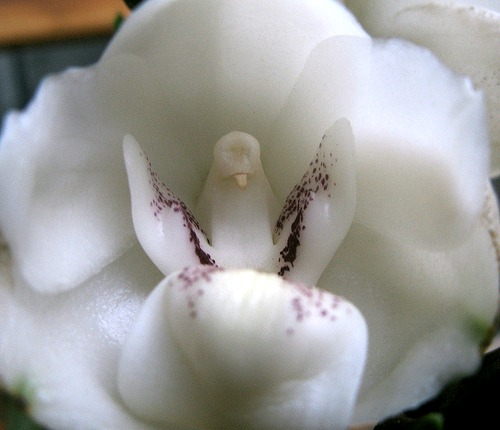 DoveOrchid