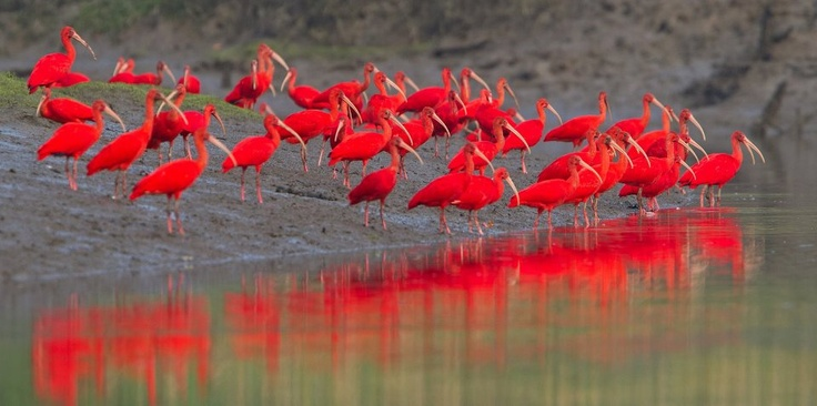 Show The Scarlet Ibis Some Love On Valentines Day