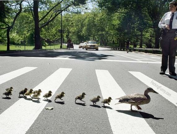 Ducks Crossing Road Animal Car Crossing Duck Funny