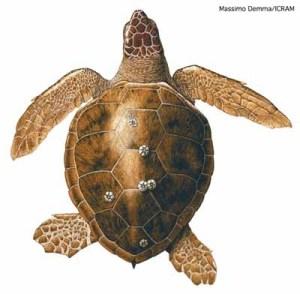 adult_turtle