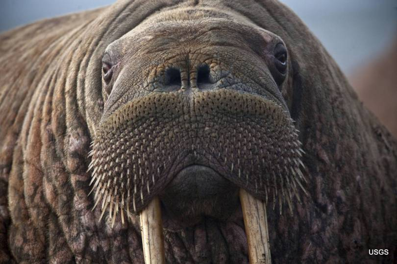 Pacific Walrus Disappearing Ice 75363 - As sea ice melts, agency says harm to walruses not proven