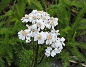 Alpine Yarrow