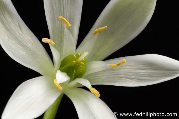 Fine art photograph of a white flower. Flower is named Ornithogalum umbellatum or star of Bethlehem.