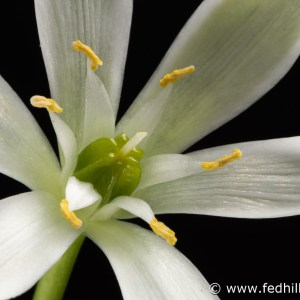 Fine art photograph of a white flower. Flower is named Ornithogalum umbellatum or star of Bethlehem.
