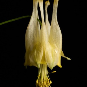 Fine art photograph of a white and yellow flower. Flower is named 'Corbett' columbine, a cultivar of Aquilegia canadensis.