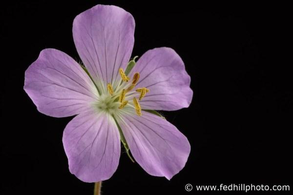 Fine art photograph of a purple flower. Flower is named Geranium maculatum or spotted geranium.