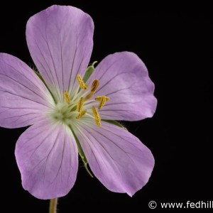 Fine art photograph of a purple flower. Flower is named Geranium maculatum or spotted geranium.