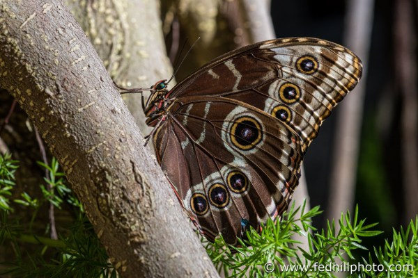 Fine art photo of the insect Morpho peleides, or blue morpho butterfly, at Brookside Gardens Conservatory.