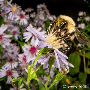 Fine art nature photo of bumble bee and blue wood aster.