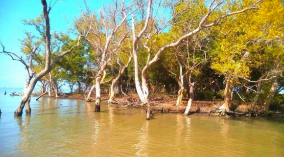 Tibaguin mangrove forest in dire straits.