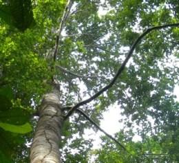 meranti-tree-sm