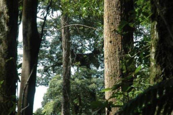 White-lauan-Shorea-contorta-nest-tree-at-Mount-Sinaka-red-arrow-pointing-to-the-nest.jpg