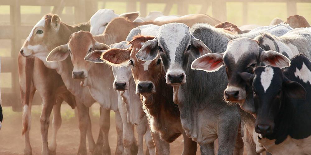 Cattle Feeding - Organic Livestock Feed - Organic Cattle Feed