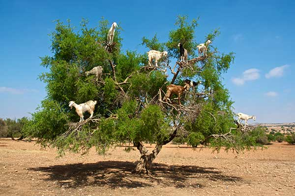 Goats in Trees-Organic Goat Feed-Feedex Company-Hutchinson, KS
