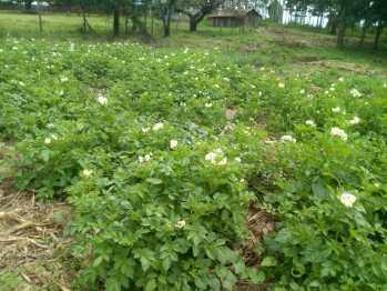 Potato crop on the demonstration plot