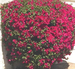 trimmed shrub with pink blooms