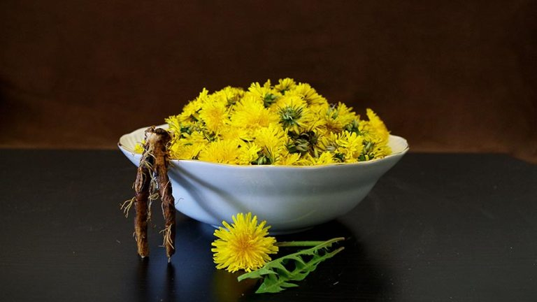 10 Proven Health Benefits Of Dandelion Root