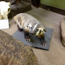 A badger, but not a honey badger.