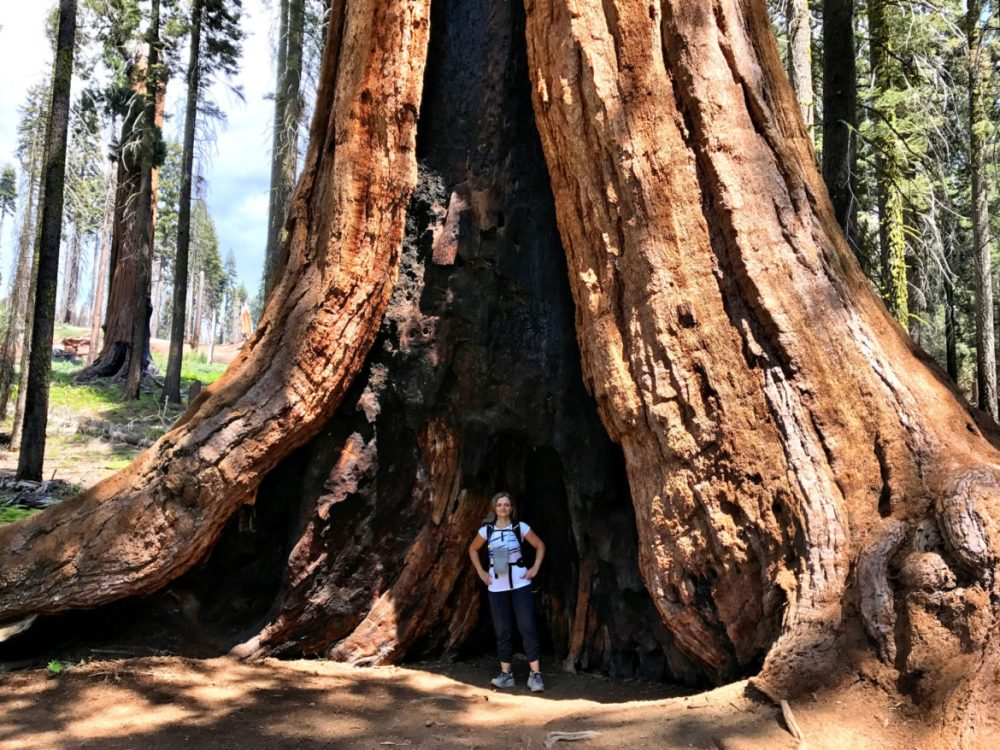 Burnt but living giant Sequoia