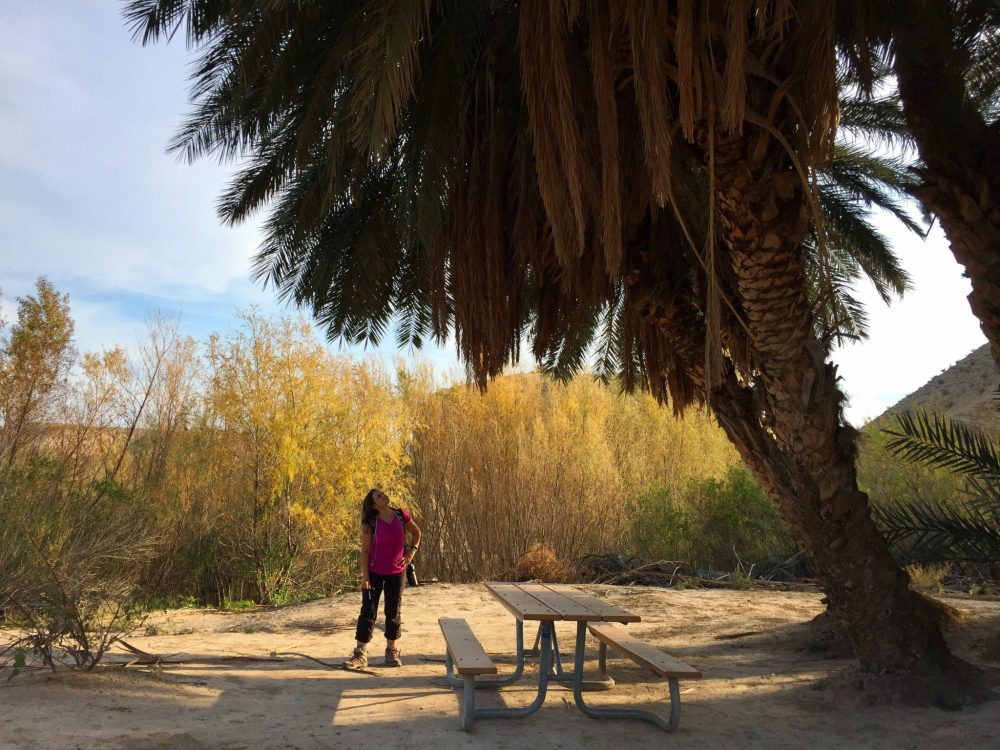 Cluster of giant palm trees on Hot Springs Trail
