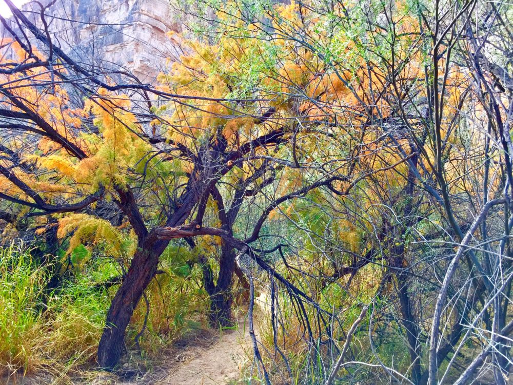 Trees on Santa Elena Canyon Trail