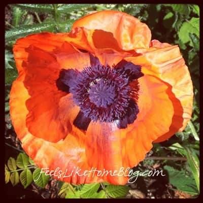 A close up of a poppy
