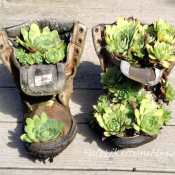how to plant hens and chicks in boots
