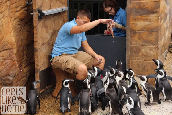 Adventure Aquarium review - penguin feeding