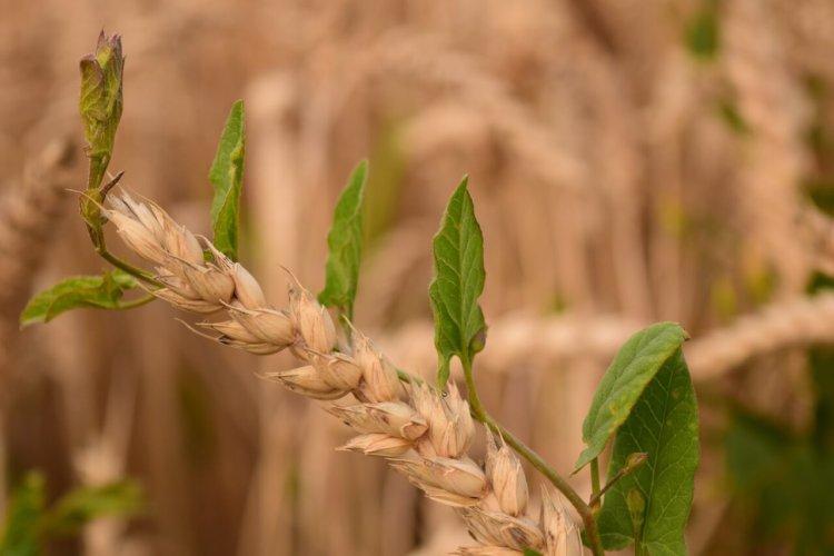 Symbolbild: Unkraut und Weizen: Nahaufnahme Weizenkorn, umgeben mit grünen Blättern und Stengeln