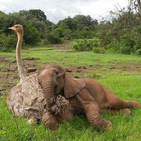 Слон-сирота, потерявший маму, каждый день обнимает страуса