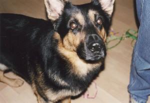 Schäferhund Birko aus der Süderstraße
