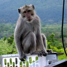 Handsome Long tailed macaque (Macaca fascicularis) sightseeing human on the top of observation tower