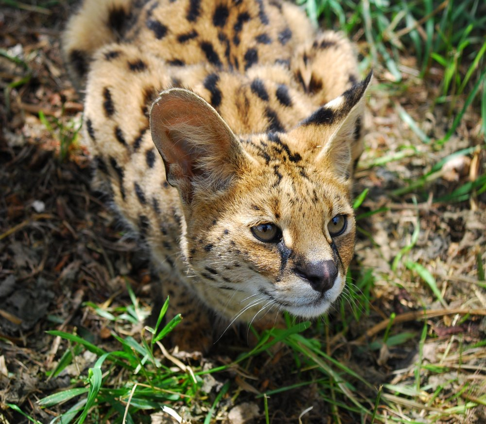 Member Photos: Serval (2/2)