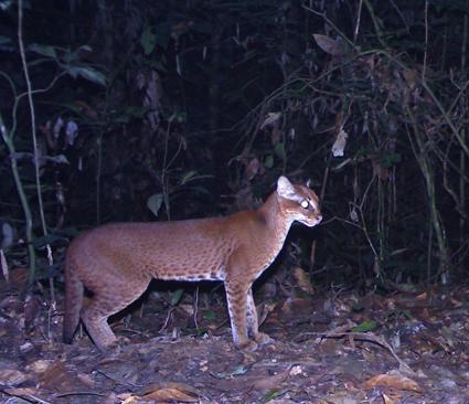 Caturday Feature: African Golden Cat