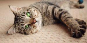 Green eyed kitten relaxing on cream carpet