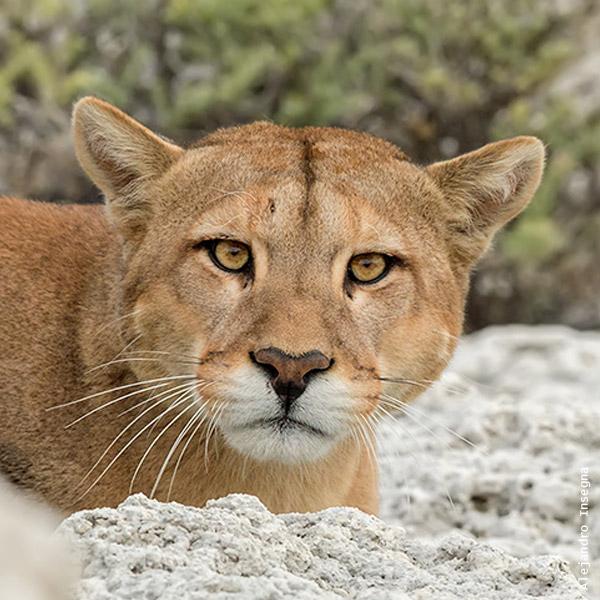 Puma Puma Concolor Felinos De Argentina