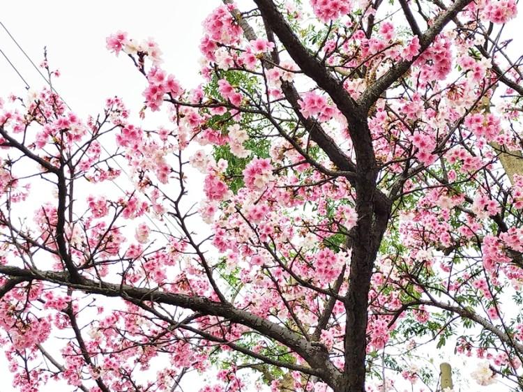 台北景點 士林區福德里小公園的美麗櫻花林,近天文科學教育館