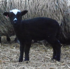 lamb with face markings 2