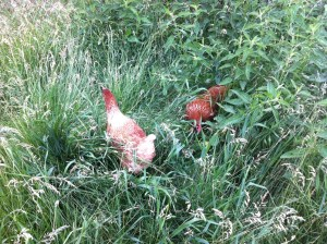 chickens going outside 2